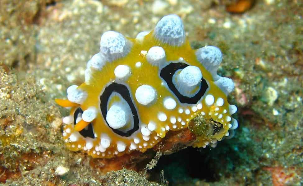 Muck Diving Species