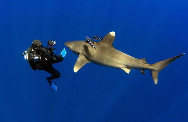 menyelam-bersama-hiu